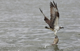 Fischadler nach erfolgreicher Jagd